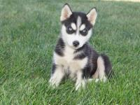 Siberian husky puppies available , they love the