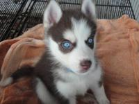 Beautiful Siberian Husky puppies will be ready to go in