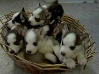 7 purebreed Siberian Husky puppies will be ready for