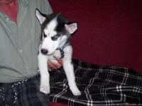 11.5 weeks old CKC Registered Siberian Husky Puppies. 1