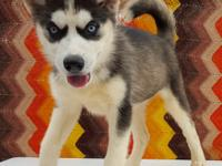 Beautiful Siberian Husky purebred puppies from a