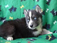 We are expecting new litters  gray and whites and