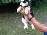 I have 1 lovely Siberian husky female puppies for sale.