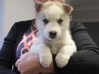Beautiful Siberian Husky puppies for sale. Pedigree and