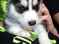 I have 8 beautiful husky puppies for sale. Parents are