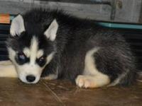 sibera husky kennel puppies a great place to start for