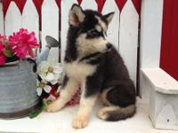 Beautiful Siberian Husky male, dark red and white, AKC