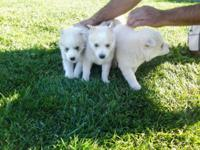 Siberian Husky Puppies For Sale 4 Males/2 Females. All