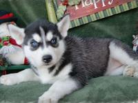 Siberian husky puppies for sale to homes....reach me at