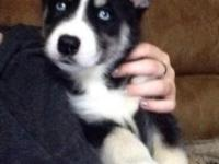 I have 8 beautiful purebred husky puppies. Will come