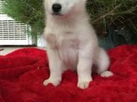 I have 3 complete blooded Siberian husky puppies. 2 all