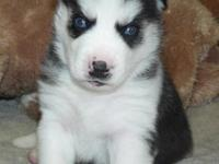 Well Trained Siberian Husky Puppies looking for life
