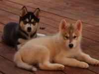 Beautiful pure bread Siberian Husky puppies available