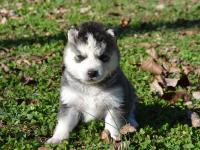 We have a litter of beautiful Siberian Huskies that