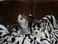 We have adorable, 100% Siberian Husky puppies