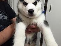 I want to find new home for my siberian husky with blue