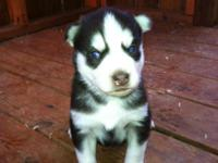 Siberian husky male puppy. AKC & CKC reg purebred. This