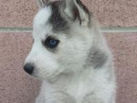 Healthy and stunning Siberian Husky Puppy. Gender: