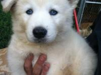 One male husky puppy AKC with papers blue eyes and will