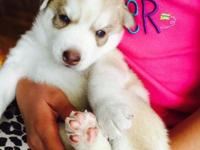 I have 1 blue eyed purebread siberian husky puppy!