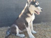 SIBERIAN HUSKY PUPPY !! Absolutely lovable!! 12 weeks
