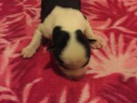 Blk/wht male. Double reg AKC and CKC. Parents on site.