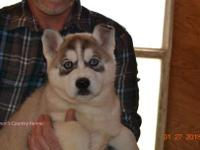 Female gray and white Siberian Husky. Limited (no