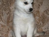 Wonderful Gray & White Siberian Husky puppy from our