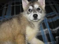 AKC female Siberian husky puppy. She is ready to go to