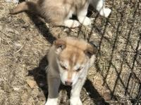 We raise our huskies on a ranch in western Wyoming with