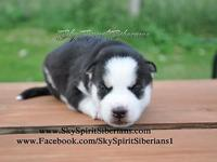 We have 1 female puppy left available. Z Girl 3. DOB: