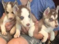 Lovable 8week old Siberian Husky pups prepared to go to