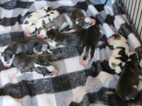 10 Siberian husky Puppies were born July 8, 2012. We