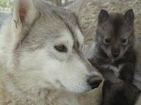 Siberian Husky Pups AKC Pups are priced at $700 without