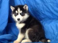 We have a new litter of pure-blooded Siberian Husky