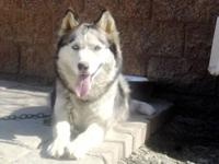 HELLO! I HAVE A GOURGEOUS PURE BREED SIBERIAN HUSKY 3
