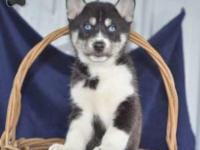 PRICE REDUCED! Jacob has a beautiful purebred litter of