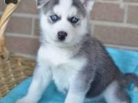 Jay has a very nice litter of purebred Siberian Husky