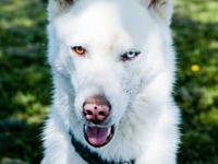 Siberian Husky - Sheba - Large - Adult - Female - Dog