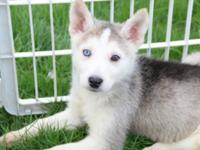 Four beautiful female siberian husky / german shepherd