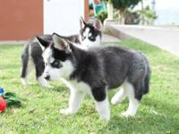 Wolf Hybrid Puppies For Sale In Washington Classifieds Buy And