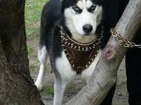 Siberian Husky Both for Sale, Male recent 1 year, and