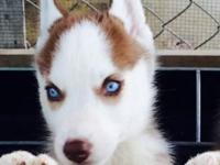SALE PUPPIES huskyes very cheap last chance beautiful