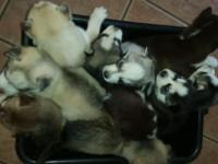 Siberian huskys puppys mi perra tuvo 7mchos si gustan