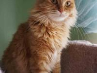 She is beautiful pure red color Siberian cat. Lovely