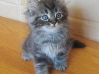 We have 6 Russian Siberian Kittens for sale. 1/2 Male,