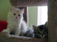 We breed only pure Siberian kittens Siberian cats are