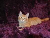 Lovely siberian kittens. Ready to go, held back until a