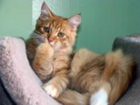 Red/white TICA registered Siberian kittens. Hand