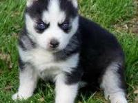 I have 1 female and 1 Male husky puppies. There 13